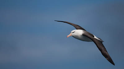 Black-browed Albatross; photo Lex van Groningen