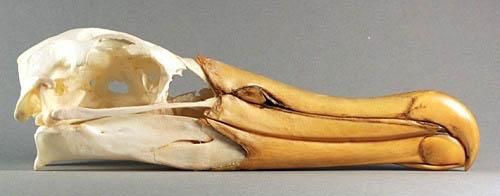 skull wandering albatross diomedea exulans