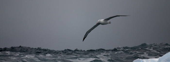 Royal Albatross; photo Lex van Groningen
