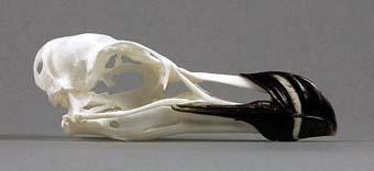 skull alca torda islandica