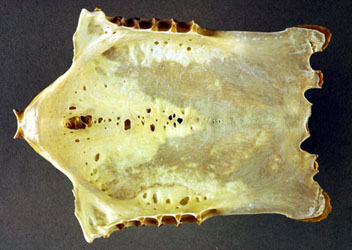 Sternum of a Giant Petrel Macronectes giganteus woth pneumatic holes