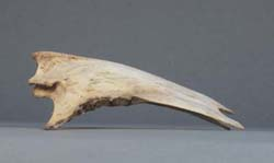 Sternum Flightless Cormorant