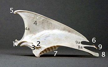 Bird breast bone