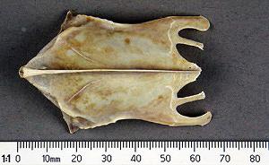 Ardenna tenuirostris
