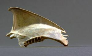 Sternum ardenna puffinus creatopa