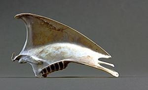 Sternum ardenna puffinus tenuirostris