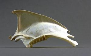 sternum ardenna puffinus gravis
