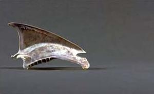 Sternum Subantarctic Shearwater Puffinus elegans